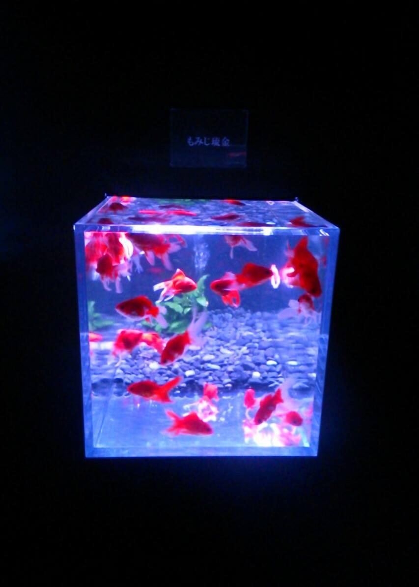 金魚立方体