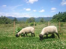 マイ緬羊5.jpg