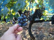 ワイン葡萄2.jpg