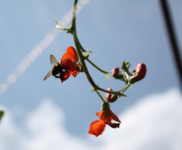 10 高原花豆とマルハナバチ.jpg