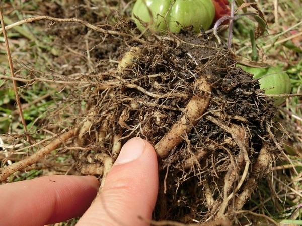 トマトの根.jpg