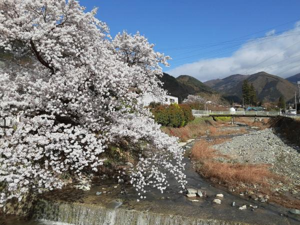 若穂桜.jpg
