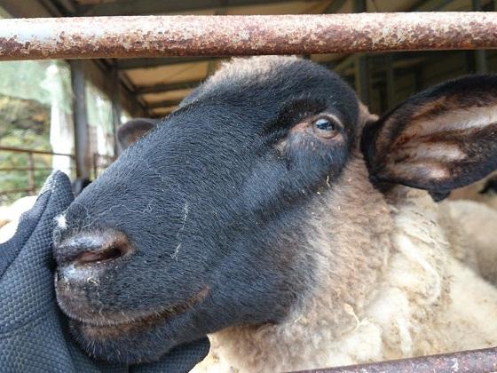 羊にもえ007.jpg