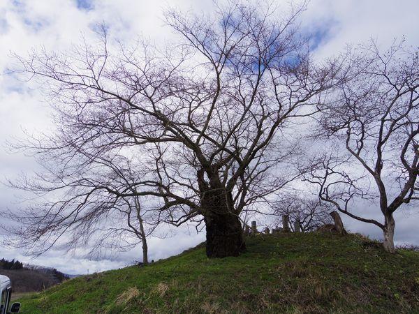 20170407_nikenya_no_sakura.JPG