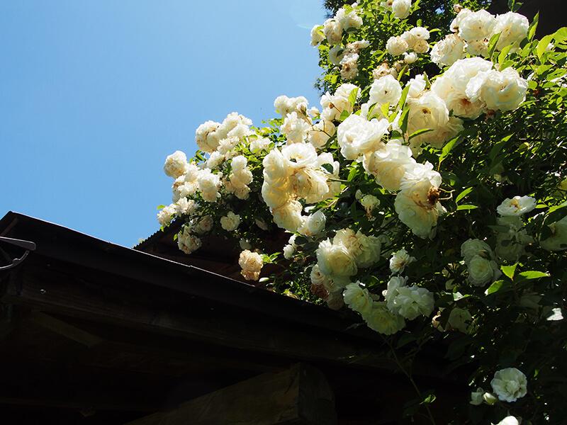 農楽里ファームの敷地内にはさまざまな草花が。季節の移ろいを足元からも感じられます